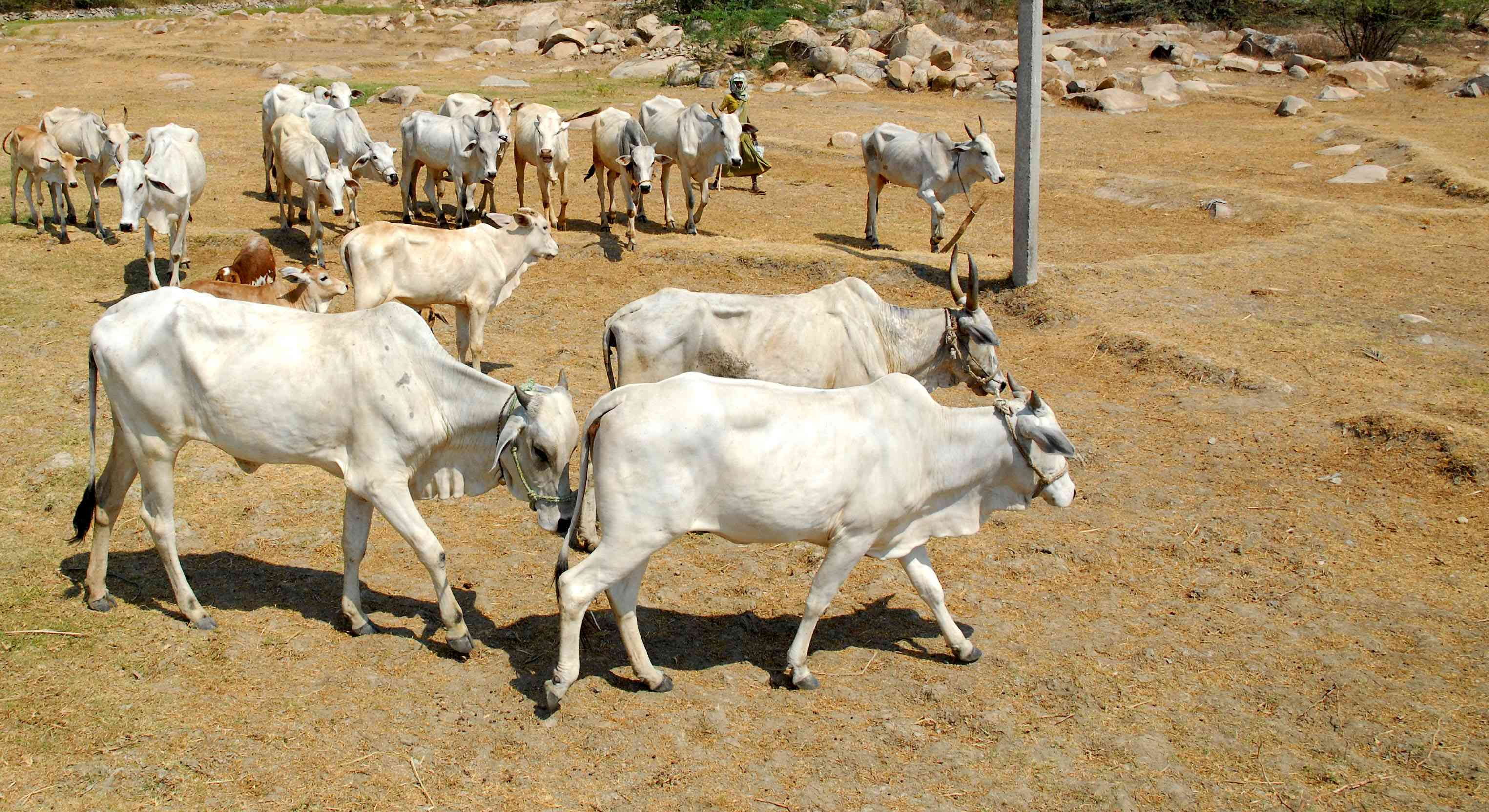 sale purchase of cattle from e-commerce portals soon