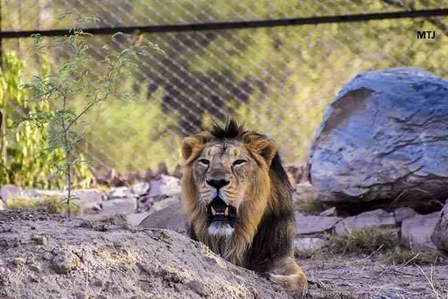 Lion Safari Jaipur