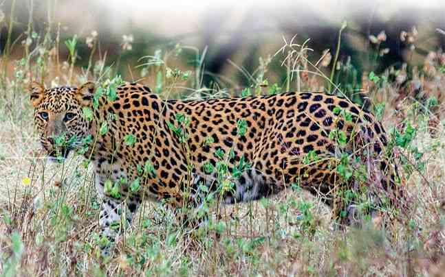 The Jhalana Forest is going to offer full-day leopard safaris
