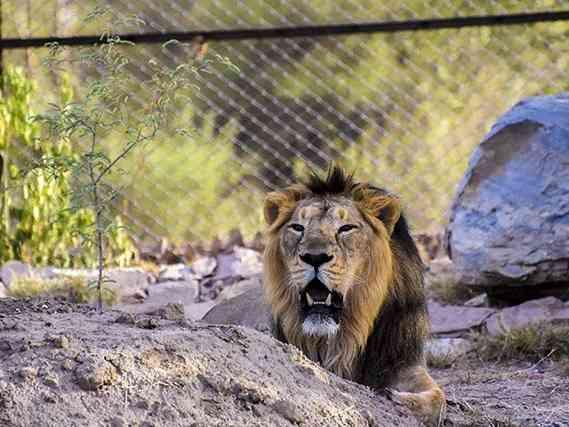 Asiatic Lion at Nahargarh Biological Park
