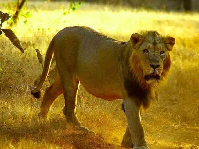 Lion Safari at Nahargarh