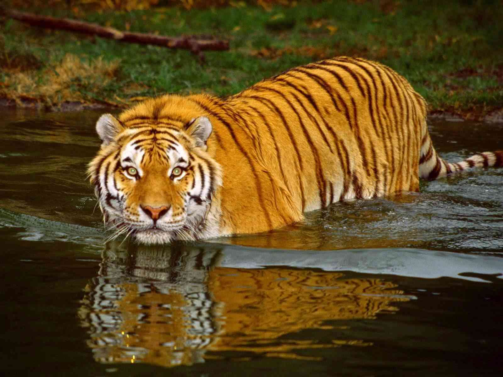 Tigers to be introduced in Mukundra Tiger Reserve