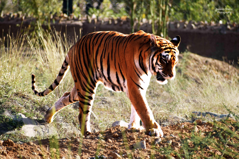 tiger nahargarh biological park