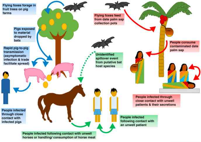 How nipah virus is transmitted