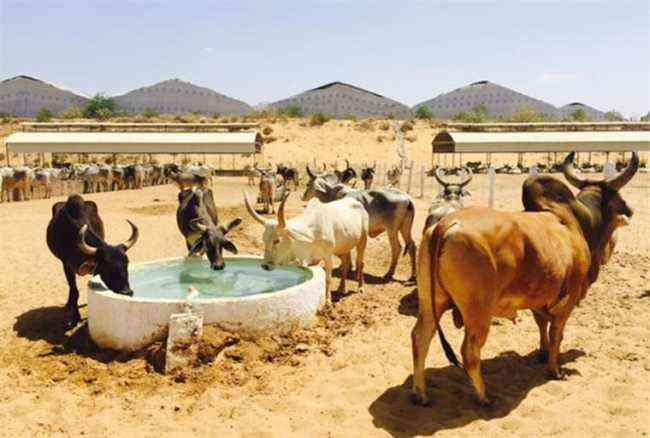 Bull Safari