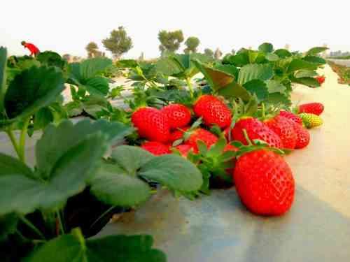 Fruiting