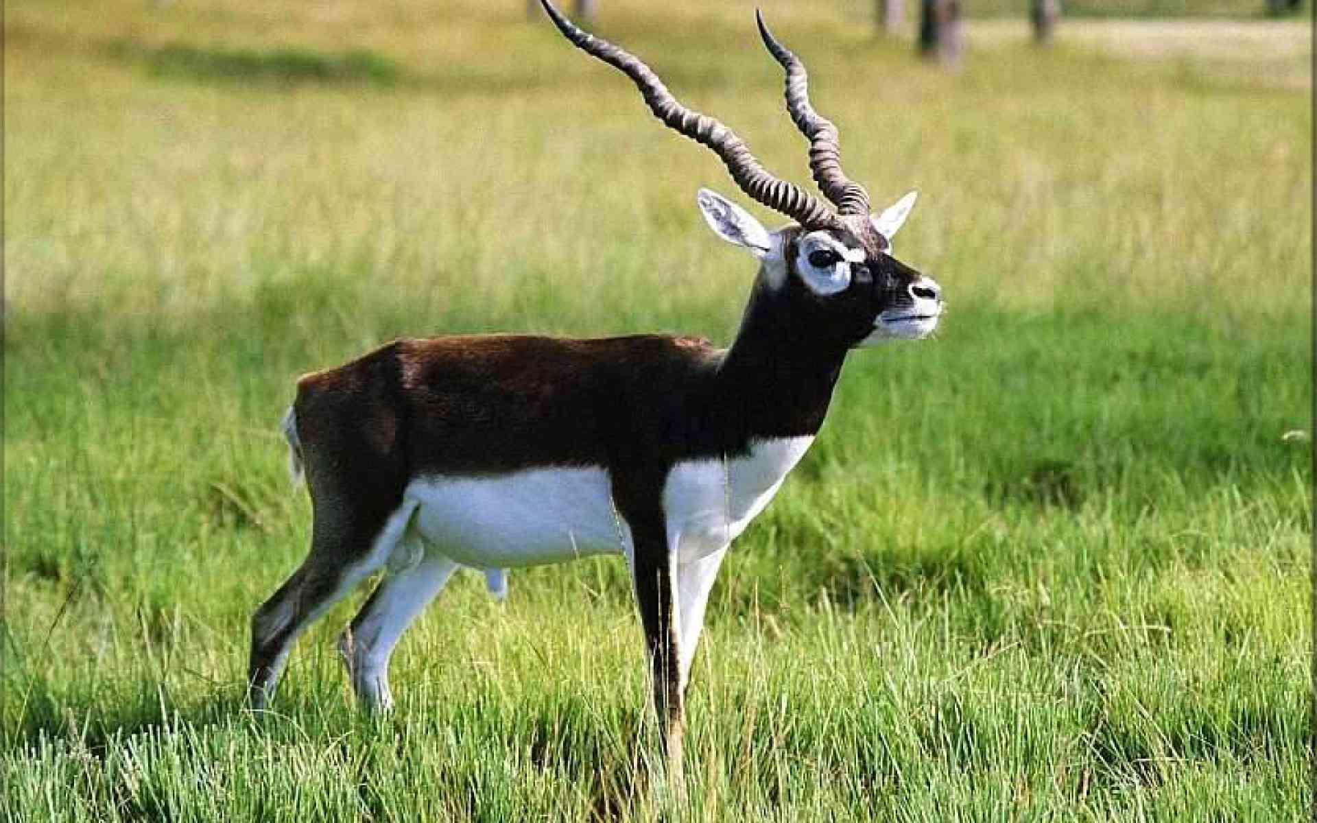 Blackbuck antelope sacred animal Bishnois