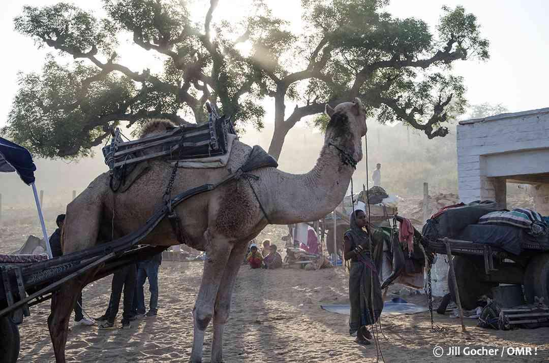 pushkar camel fair images