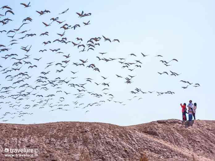 Khichan Phalodi Tehsil Jodhpur Demoiselles Cranes