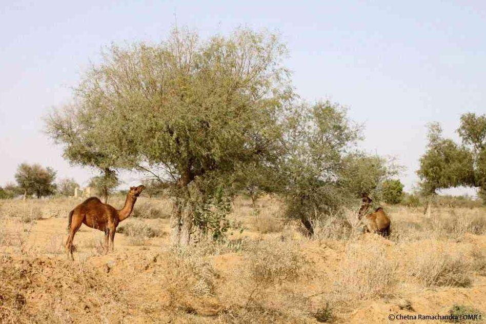 The Khejari tree