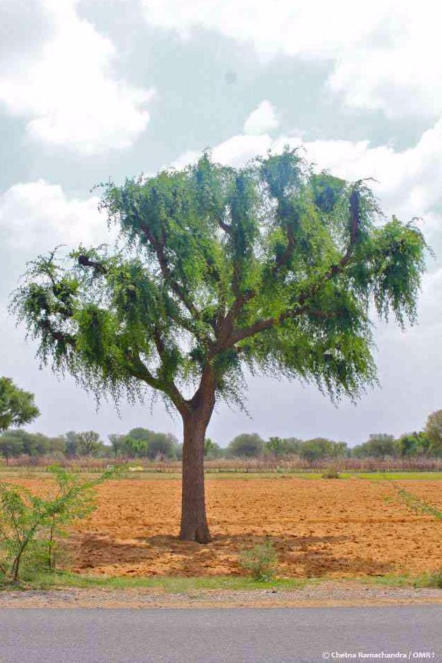 the Khejri tree