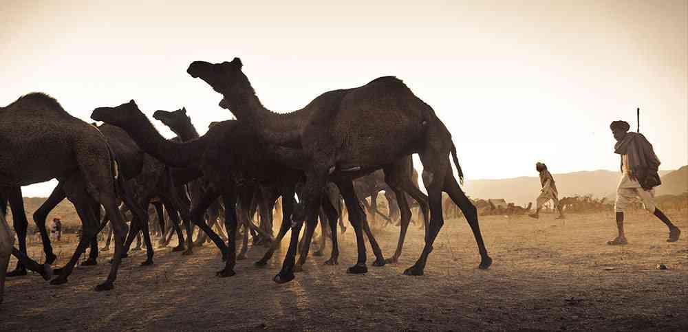 Camel flock