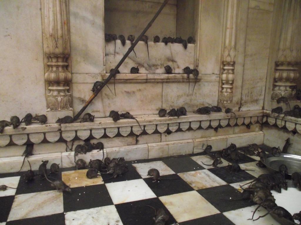 karni devi temple, rats