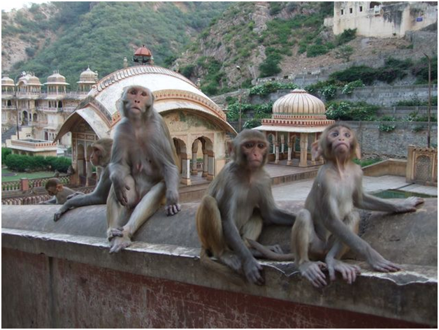 monkeys galta temple