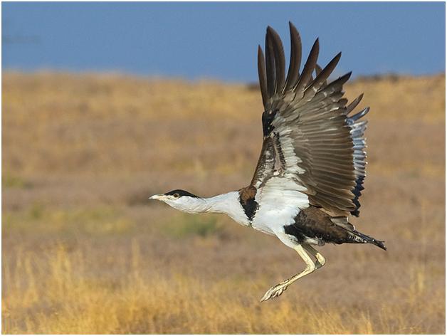great indian bustard national bird