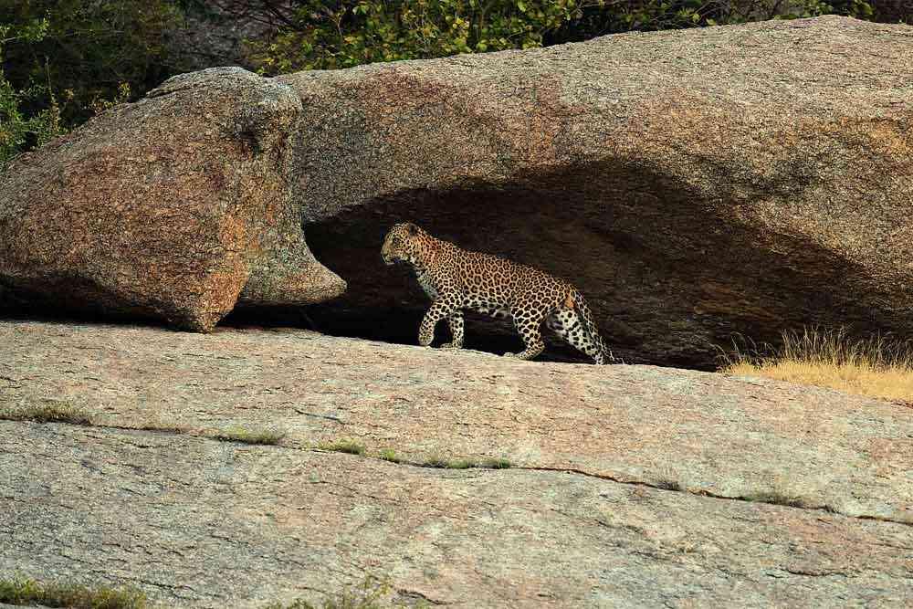 Jawai Leopard hills