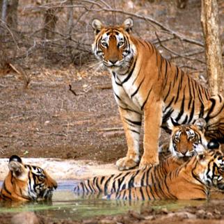 Sariska National Park Safari Rajasthan Tourism