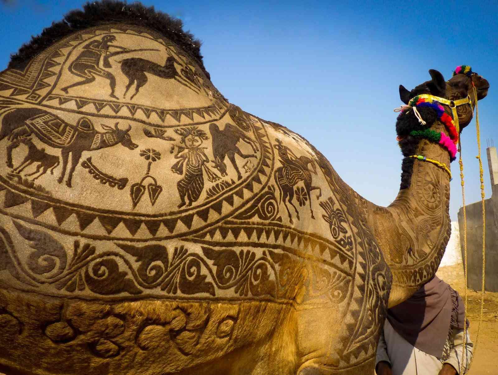 camel in Bikaner camel fair