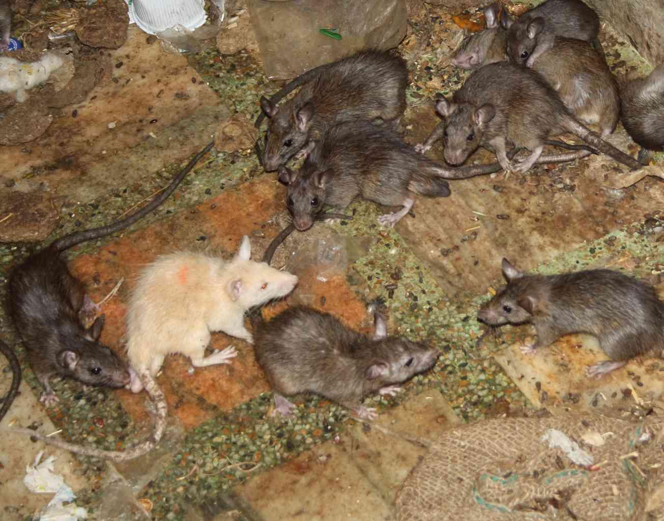 Auspicious White Rat inside Karni Mata Temple