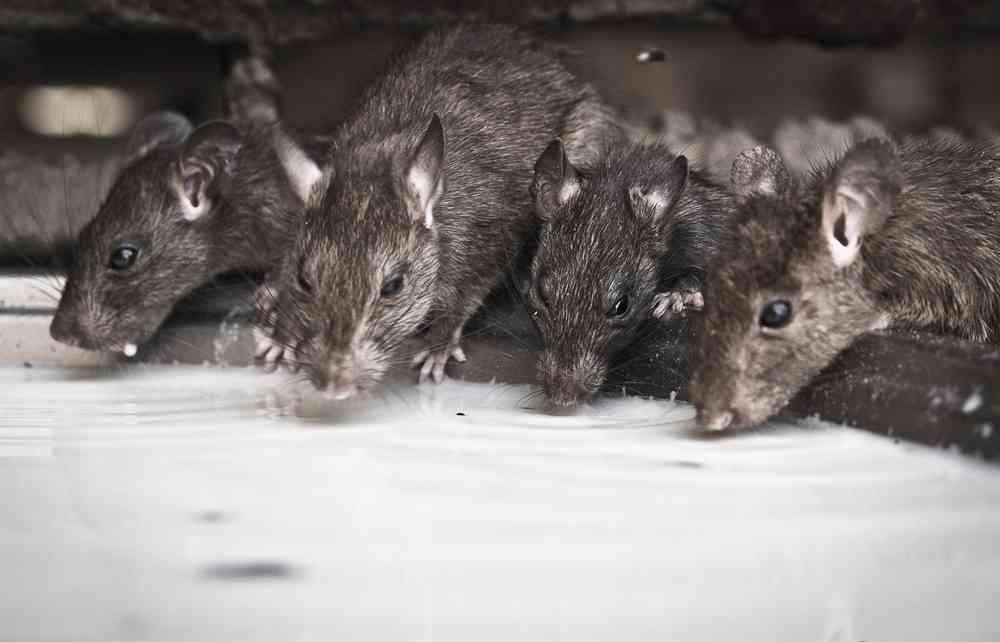 Rats drinking milk at Karni Mata Temple