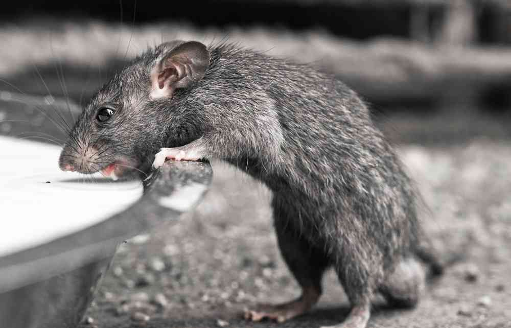 The Holy Rat at The Rat Temple of India